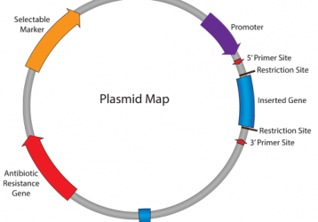 Safety and efficacy of DNA vaccines: plasmids vs. minicircles